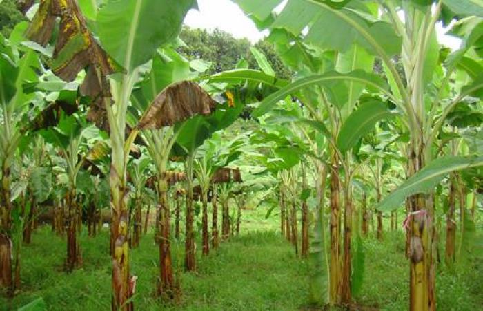 Saint-Vincent intéressé par une banane plus résistante à la Cercosporiose noire