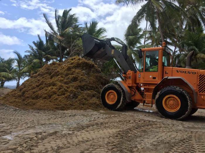 Sainte-Anne : opération de ramassage d'algues sargasses