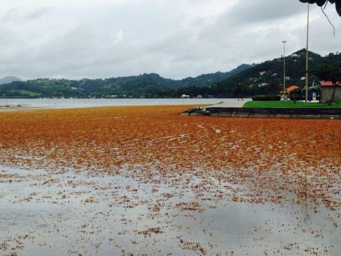 Sargasses : les riverains s'unissent pour faire face