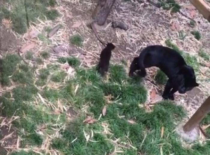 Un bébé Jaguar est né au Zoo de la Martinique. Une naissance rare et exceptionnelle