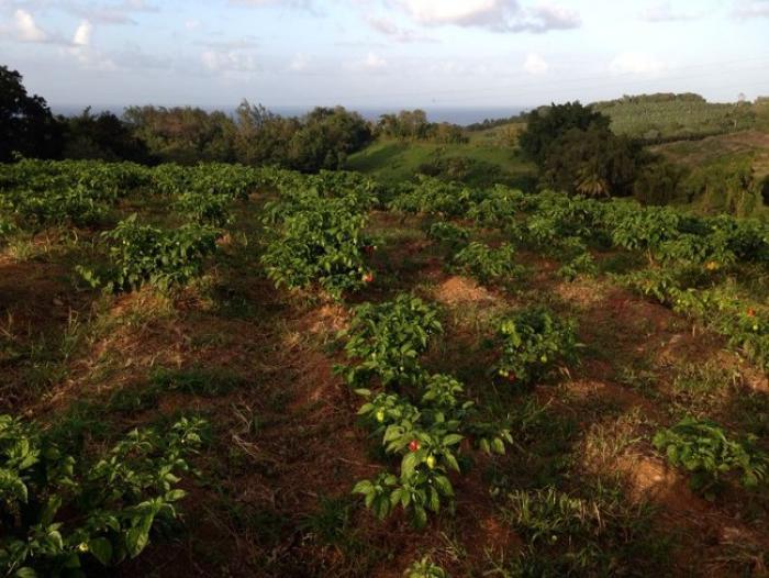 Un déplacement très fructueux à Sainte-Lucie pour 73 agriculteurs martiniquais !