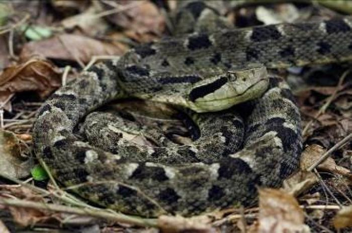Un enfant de 8 ans mordu par un serpent au Morne-Rouge