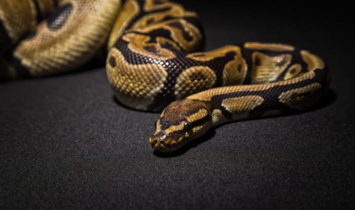 Un python de deux mètres dans un canal