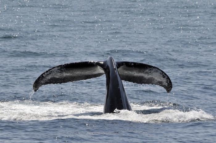 Une baleine danseuse fait le buzz en face du centre-ville de Basse-Terre