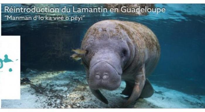 Une dizaine de nouveaux lamantins attendus en Guadeloupe