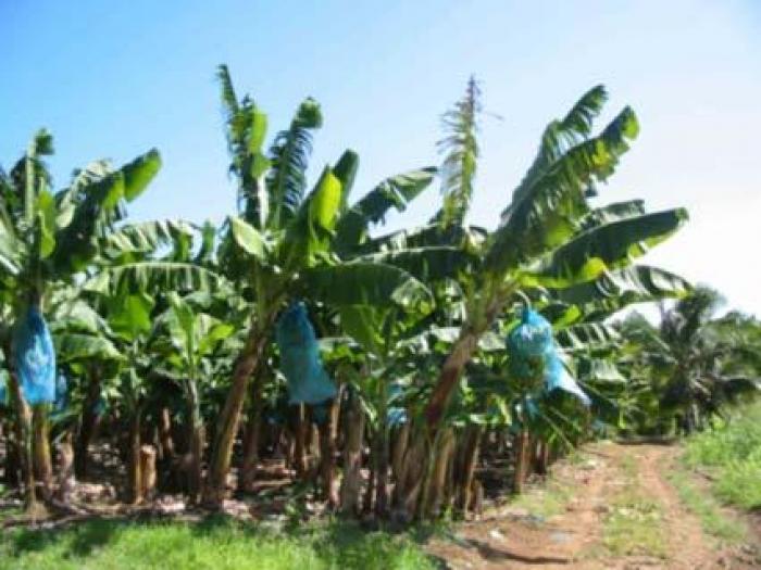 Une délégation de syndicalistes caribéens ont visité nos bananerais