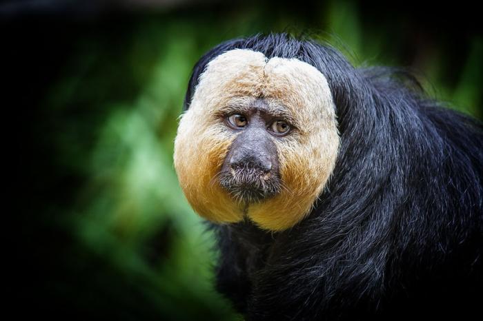 Une fête au zoo pour le Saki, nouveau pensionnaire