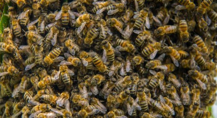 Une école du Saint-Esprit évacuée à cause d'un essaim d'abeilles