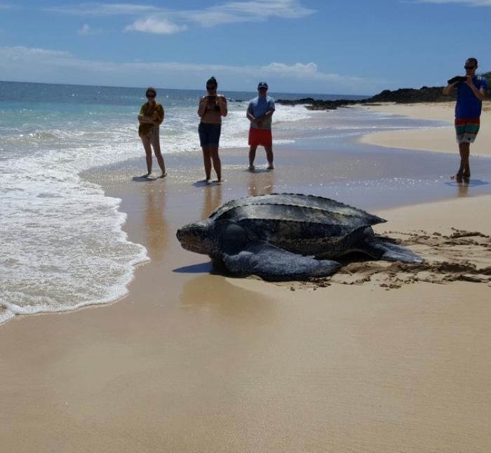 Une tortue luth applaudie sur la plage des Salines