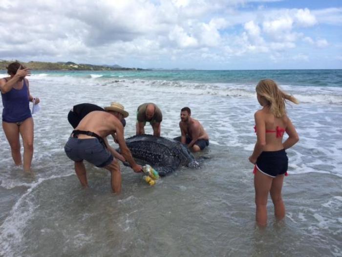 Une tortue luth échouée sur la plage du Diamant