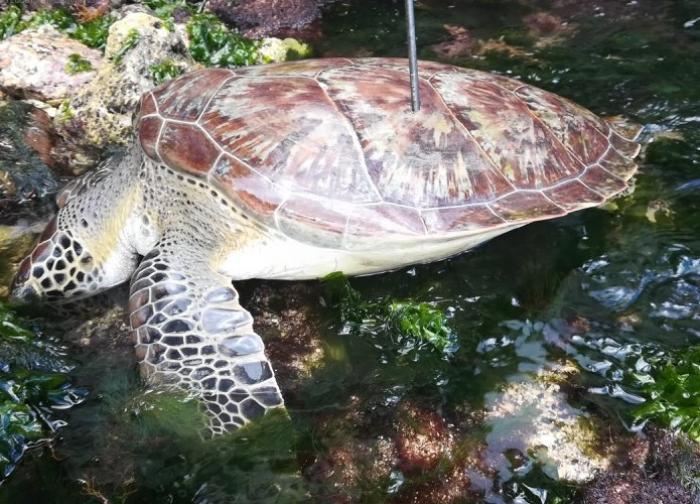 Une tortue tuée par un chasseur sous-marin