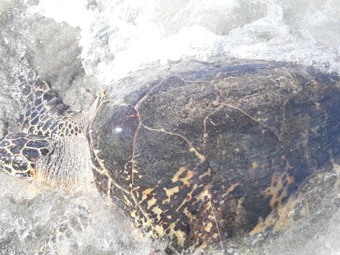 Une tortue verte retrouvée morte sur une plage à Sainte-Luce